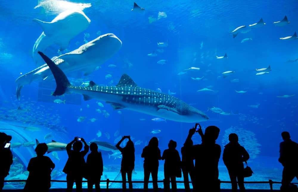 Whale Sharks at the Georgia Aquarium