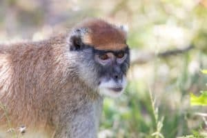 Patas Monkey (aka wadi monkey, dancing monkey, sergeant-major monkey, hussar monkey, and military money) Portrait.