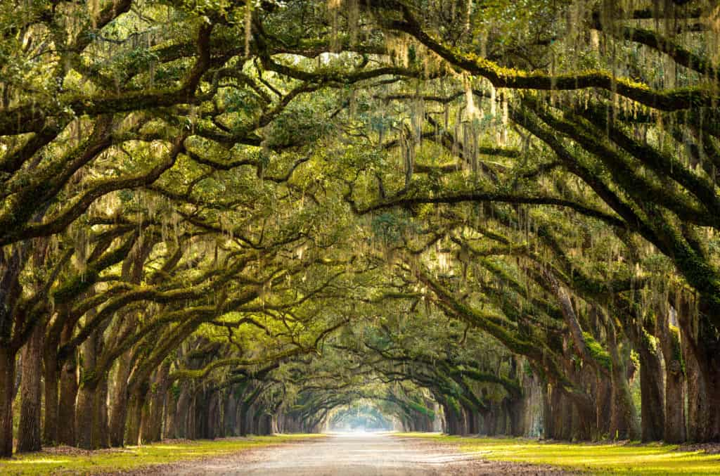 Ancient oak trees lining up an alley